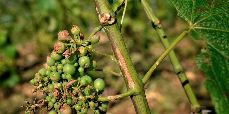 Le vignoble bourguignon déploie son parapluie anti-grêle