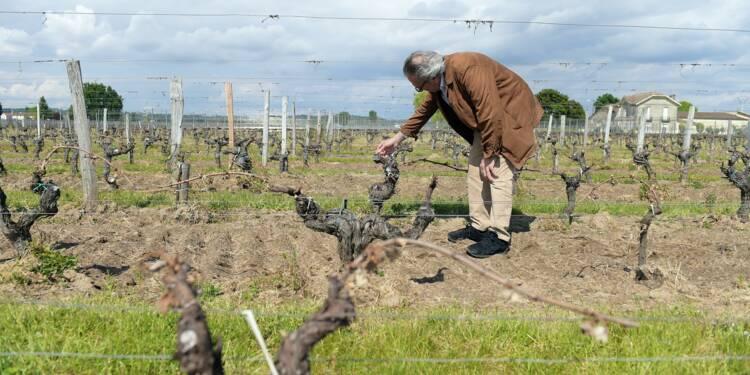 Gel dans le vignoble bordelais: au moins 30% de récolte perdue