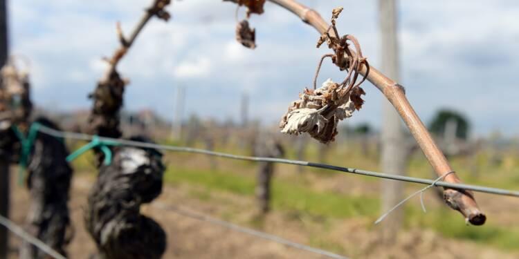 """Saint-Emilion: avec 80% du vignoble touché par le gel, """"on a la gueule de bois"""""""