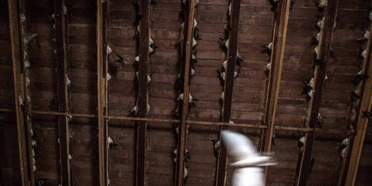 Les nids d'hirondelle, de la Birmanie rurale aux tables chics de Shanghai