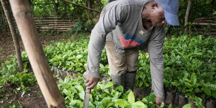 Au Ghana, l'arôme du café se répand sur les plantations de cacao