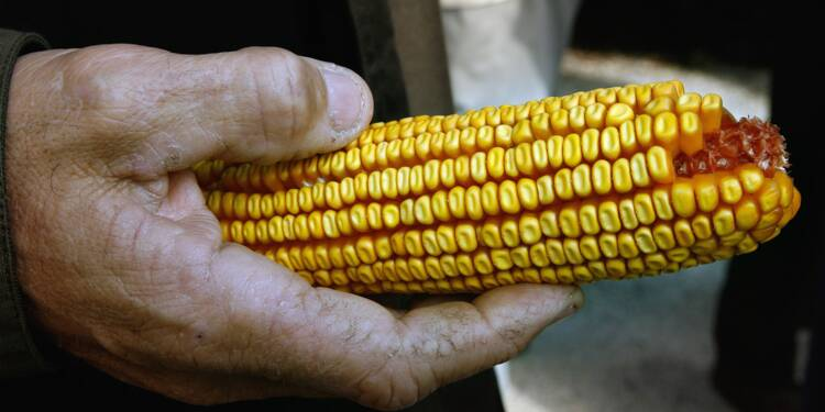 USA: du maïs génétiquement modifié pour être plus nutritif