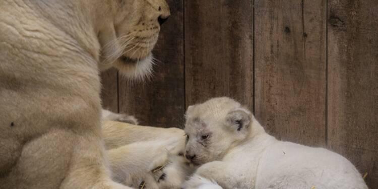 Quatre lionceaux blancs sont nés au zoo d'Amnéville
