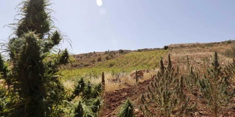 Au Liban, quand la vigne supplante le cannabis