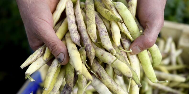 Le coco de Paimpol, coincé entre réglementation et tradition