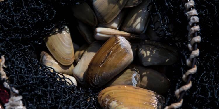 Le Chili vole au secours de la macha, mollusque star de sa cuisine