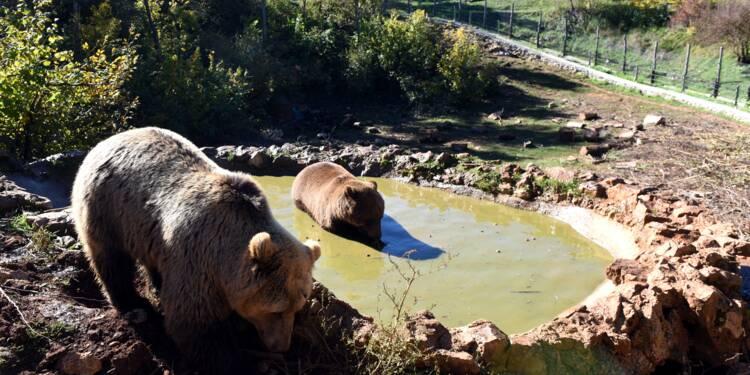 Au coeur de la Croatie, un refuge pour ours orphelins