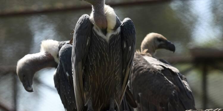 Mal aimés, les vautours luttent pour leur survie au Pakistan
