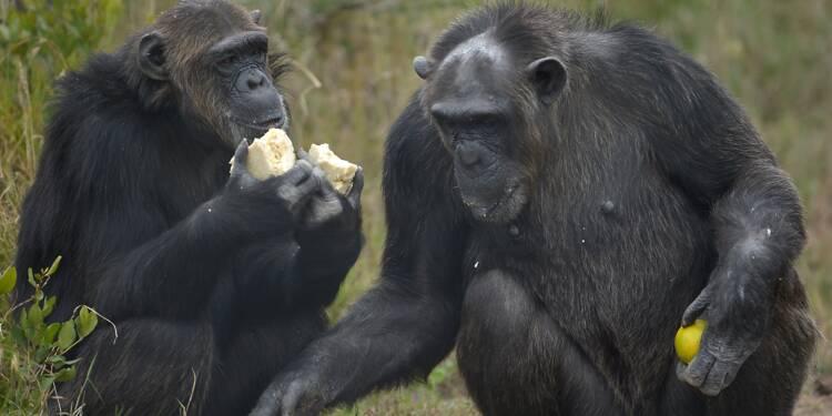 Les chimpanzés capables d'évaluer un danger et d'en avertir leurs congénères