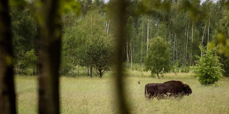 Forêt de Bialowieza: 100.000 euros d'astreinte par jour si Varsovie ne cesse pas l'abattage