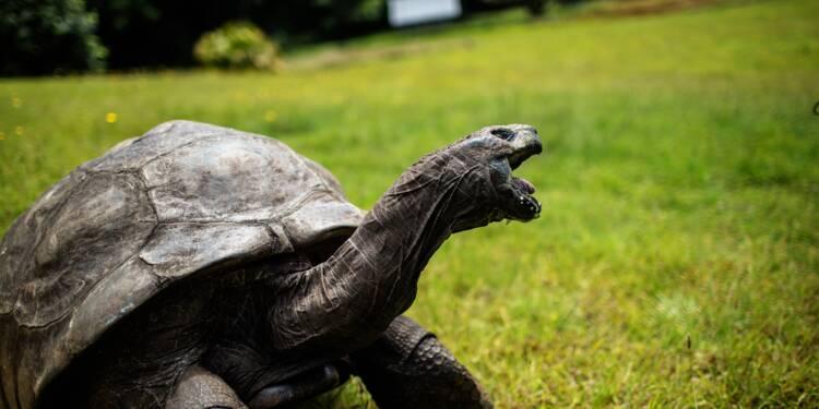 A Sainte-Hélène, Jonathan la tortue, 185 ans au moins, apôtre de la lenteur