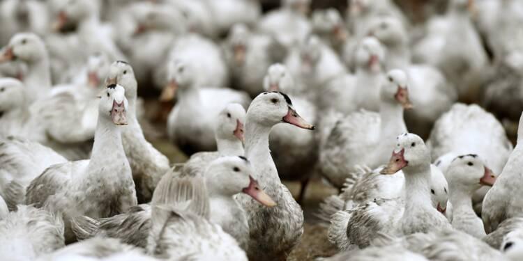Pays-Bas: confinement national des volailles après un cas de grippe aviaire