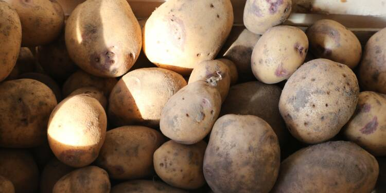 La culture de la pomme de terre, rempart contre la guerre