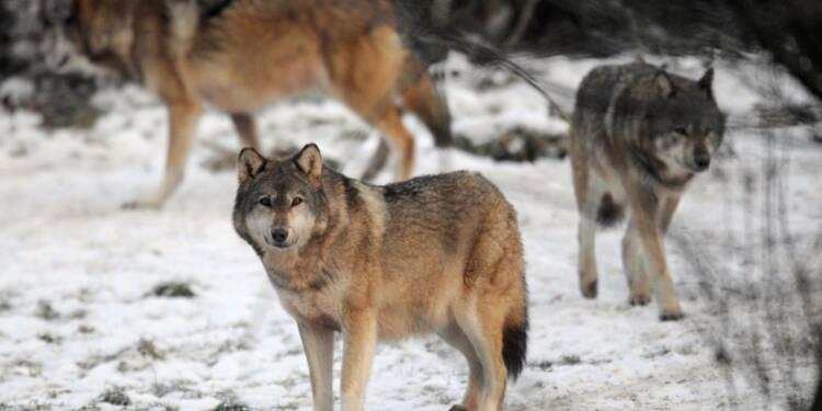 Réunion mardi sur le plan loup: boycott des éleveurs