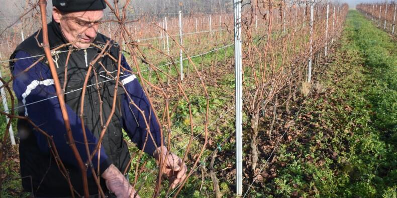 Vignes gelées: les vignerons bordelais apprennent une nouvelle taille