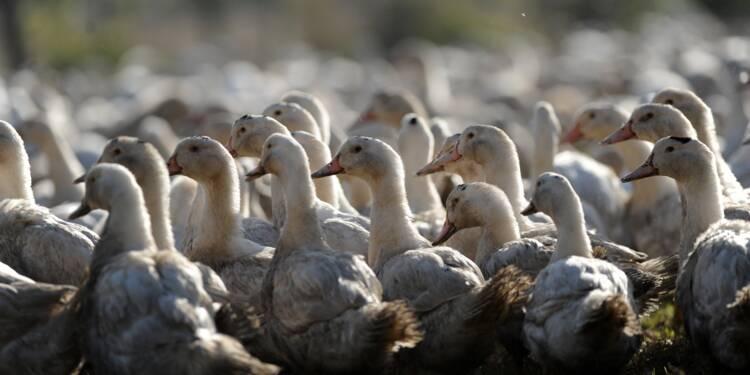 """Landes: un élevage de canards en quarantaine, """"suspicion"""" de grippe aviaire"""