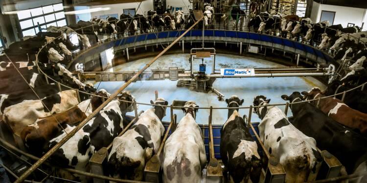 """La ferme """"des 1.000 vaches"""", un élevage controversé qui a creusé son sillon"""