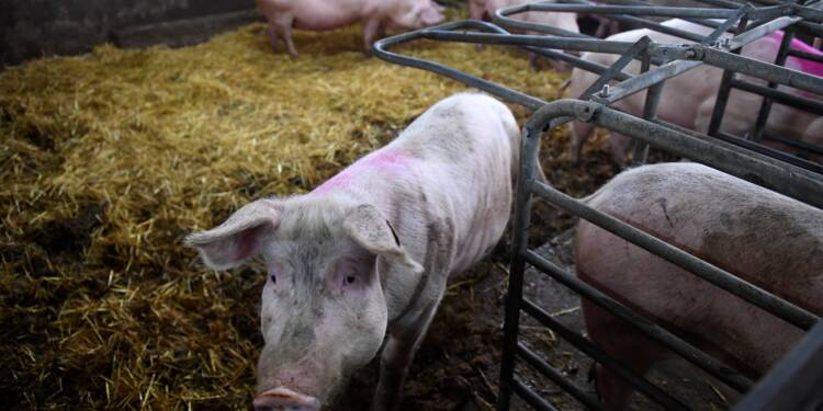 Le porc élevé sur paille, une alternative au bio et à l'intensif