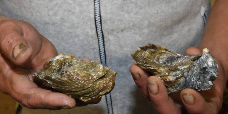 Les huîtres à Noël: combien de chromosomes dans vos assiettes ?