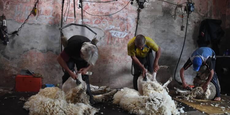 Des moutons aux berlines allemandes, l'Uruguay fait voyager sa laine