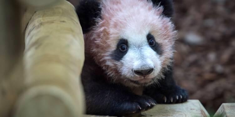 A Beauval, première sortie publique du bébé panda, devant des visiteurs conquis