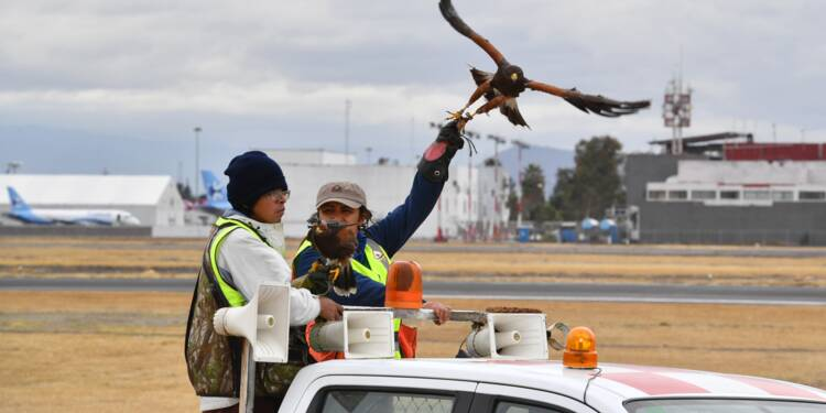 Sur l'aéroport de Mexico, des faucons pèlerins veillent à la sécurité des vols