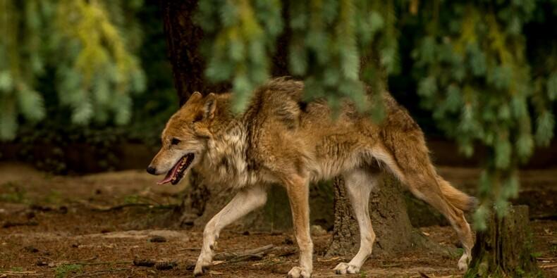 Le nouveau plan loup s'attire des critiques des pro et anti-loups