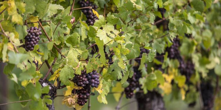La filière viticole face au défi de la baisse des pesticides