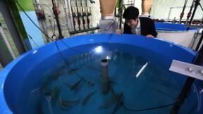 Japon: du saumon élevé sur la terre ferme