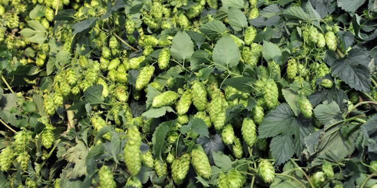 L'essor de la bière artisanale met le houblon sous pression