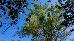 """Le guaimaro, un """"arbre magique"""" protecteur de la planète"""