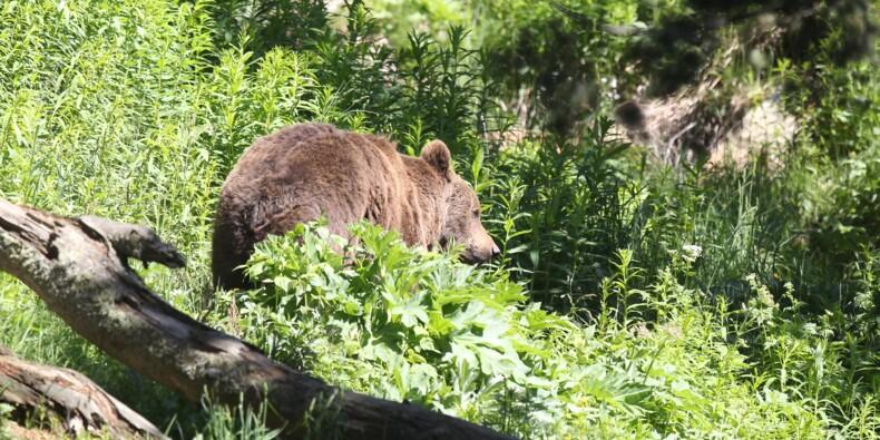 Hulot veut réintroduire deux nouveaux ours dans les Pyrénéees