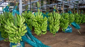 Les bananes guadeloupéennes reprennent le chemin de la France après Maria