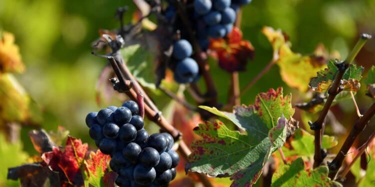 Viticulture: entre 8 et 12% des vignobles dans le monde sont cultivés en bio
