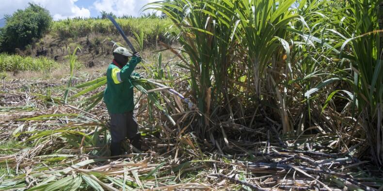 En Guadeloupe, la canne à sucre cherche un nouvel élan
