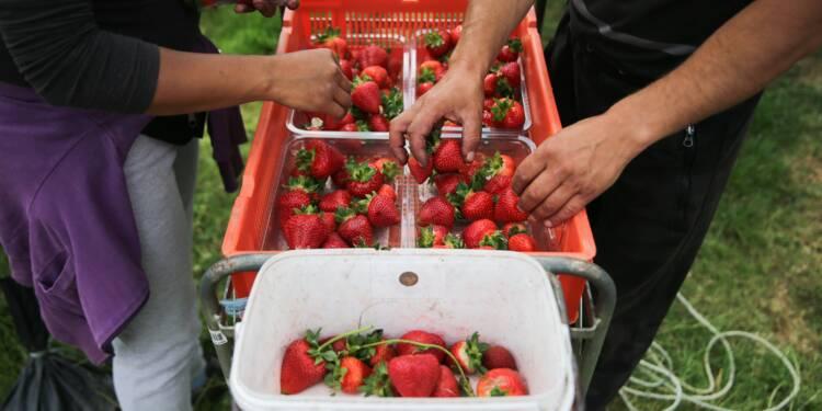 Vous cherchez un job d'été ? Les fraises britanniques n'attendent que vous