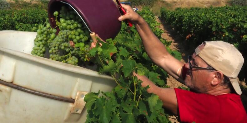 Premières vendanges sous chaleur caniculaire à Fitou dans l'Aude