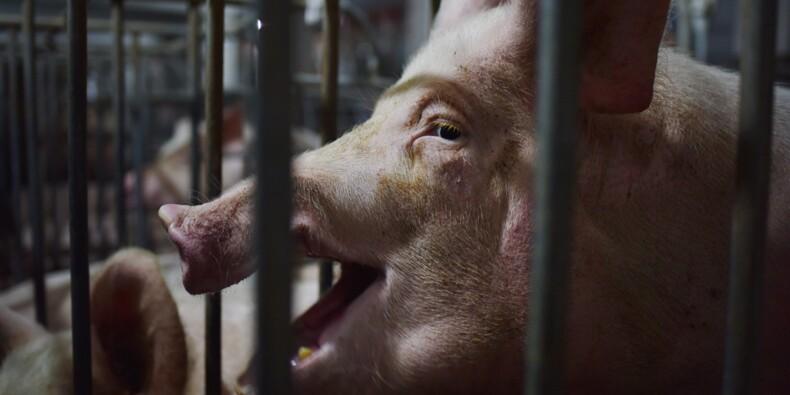 Le porc chinois, nouvelle victime de la guerre commerciale avec Donald Trump