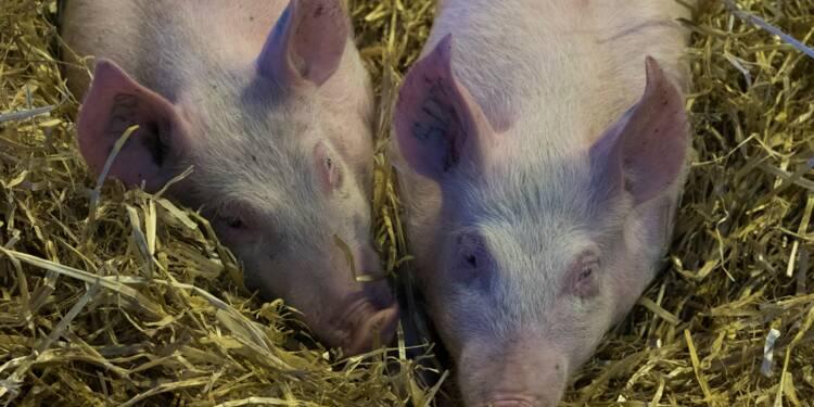 Peste porcine africaine: le ministère expose son plan de bataille aux éleveurs