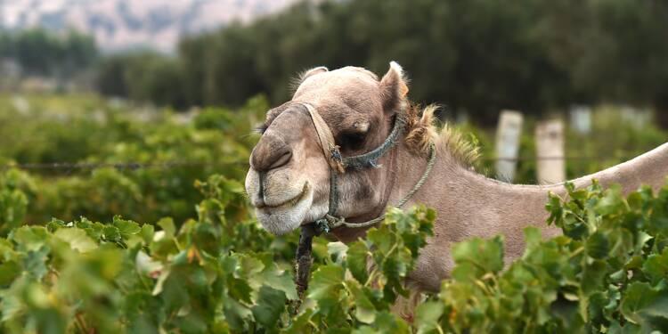 Vent du désert, dromadaire et bio: au Maroc, le vignoble de l'extrême