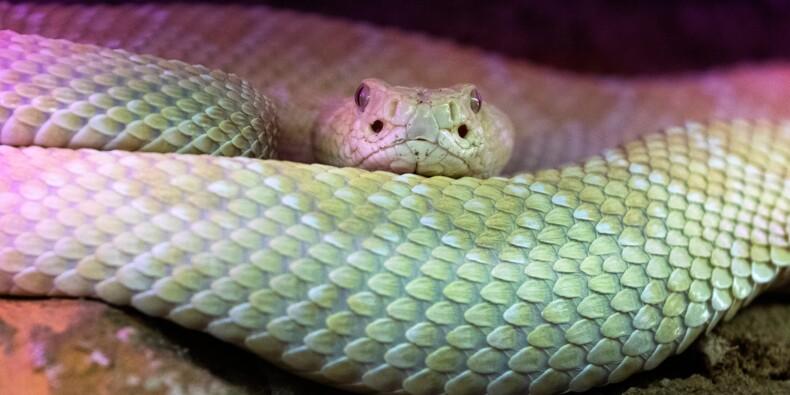 Des serpents venimeux à la conquête des Parisiens