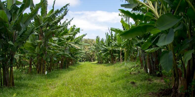 Dans les Antilles françaises, le chlordécone au centre des préoccupations