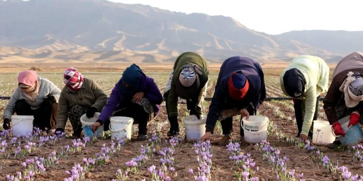 Le safran iranien en quête de reconnaissance internationale