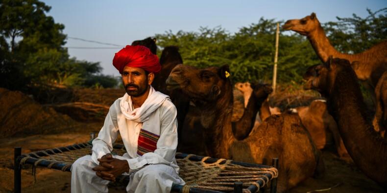 Au Rajasthan, les dromadaires du désert se reconvertissent
