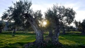 Comment un petit village a été sauvé par une application mobile de parrainage d'oliviers