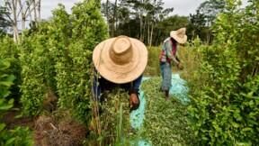 En Colombie, des paysans ruinés entre désespoir et retour à la coca