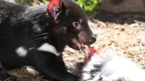 La résistance inespérée du diable de Tasmanie
