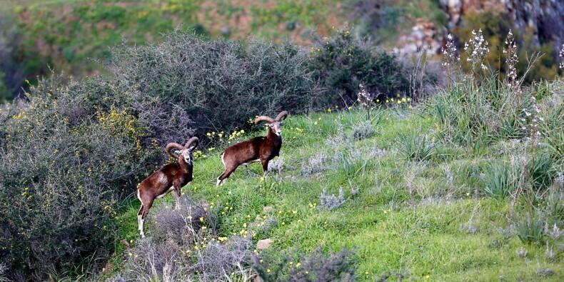 Emblématiques de Chypre, les mouflons suscitent l'ire des agriculteurs