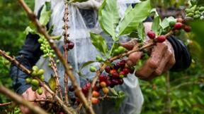 La chute des cours sème la désolation chez les caféiculteurs de Colombie