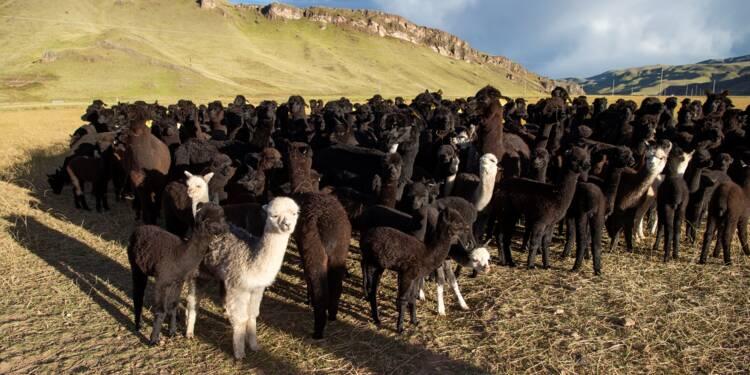 La laine d'alpaga, fer de lance de l'industrie textile péruvienne